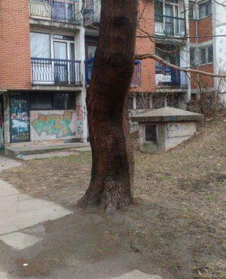 Plače drvo u Borči