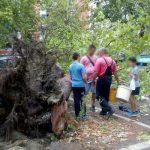 Koren oborenog drveta