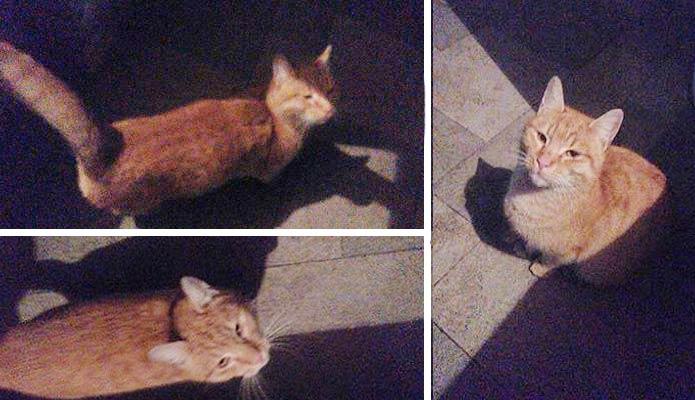 Pronađena mačka u Borči